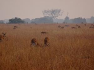 17-1-antilopen