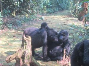 17-1-gorillagruppe1